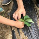 サツマイモの苗植えをしたよ!